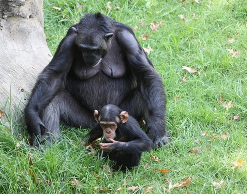An adult and child chimp