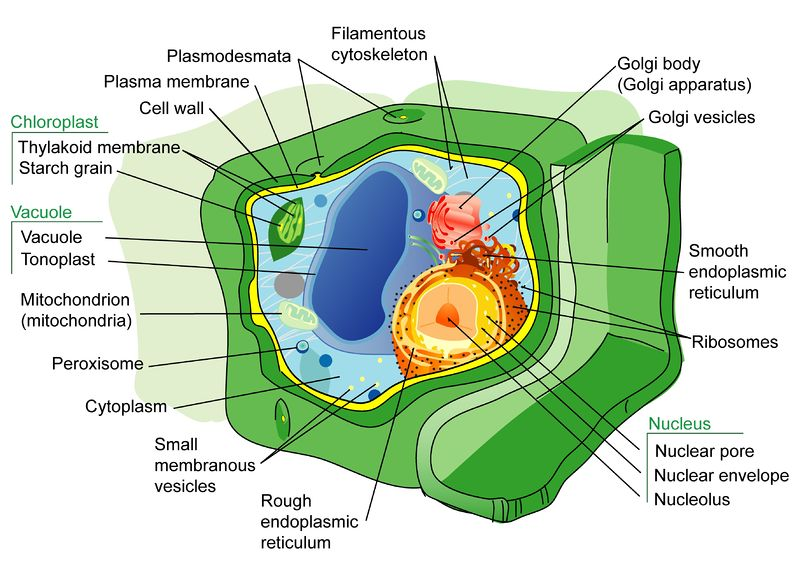 Plant Cell Structures ( Read ) | Biology | CK-12 Foundation
