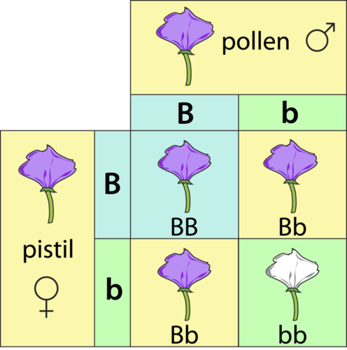 The Punnett square of a cross between two purple flowers (Bb)