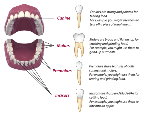 Mammalian Teeth (Human). With their different types of teeth, mammals ...