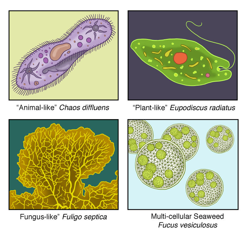 Introduction to Protists | CK-12 Foundation