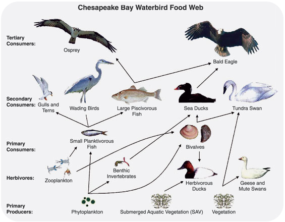 2 6 Food Webs  Food Chains