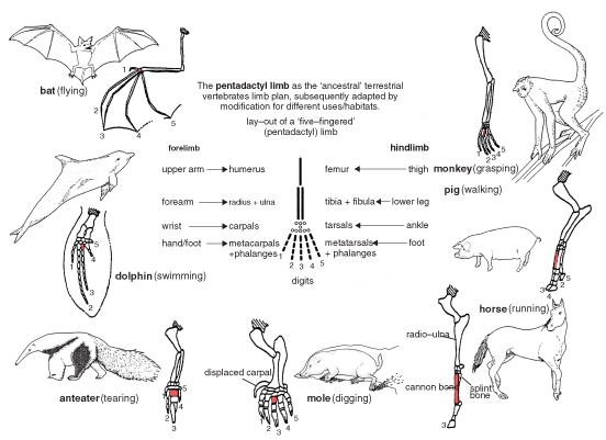 Printables Comparative Anatomy Worksheet comparative anatomy worksheet vintagegrn human homologous and analogous structures bloggakuten